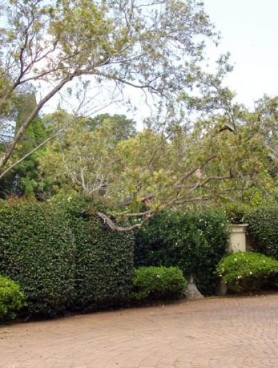 Gardening Northside Hedging - Burns Rd Wahroonga