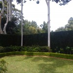 Hedges around the gum trees